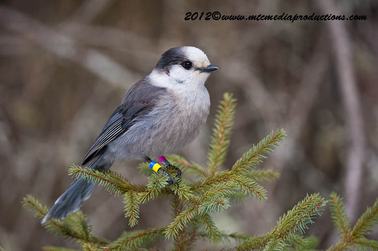 Gray Jay Picture-172