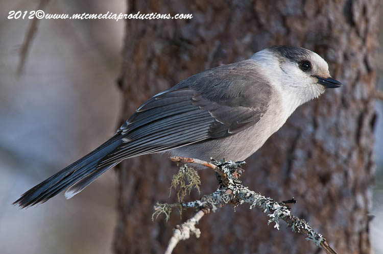 Gray Jay Picture-173