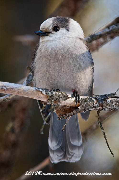 Gray Jay Picture-174