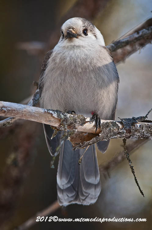 Gray Jay Picture-175