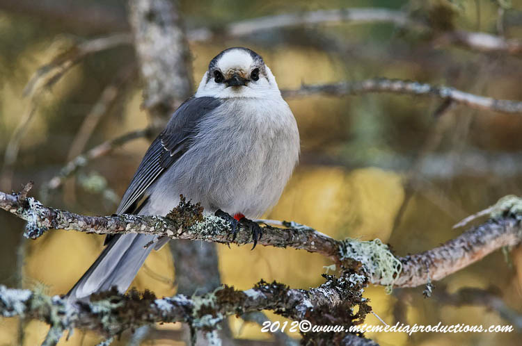 Gray Jay Picture-176