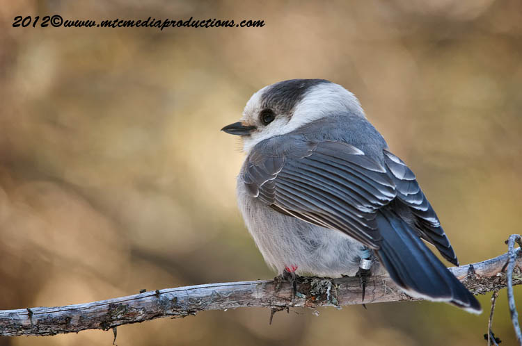 Gray Jay Picture-178