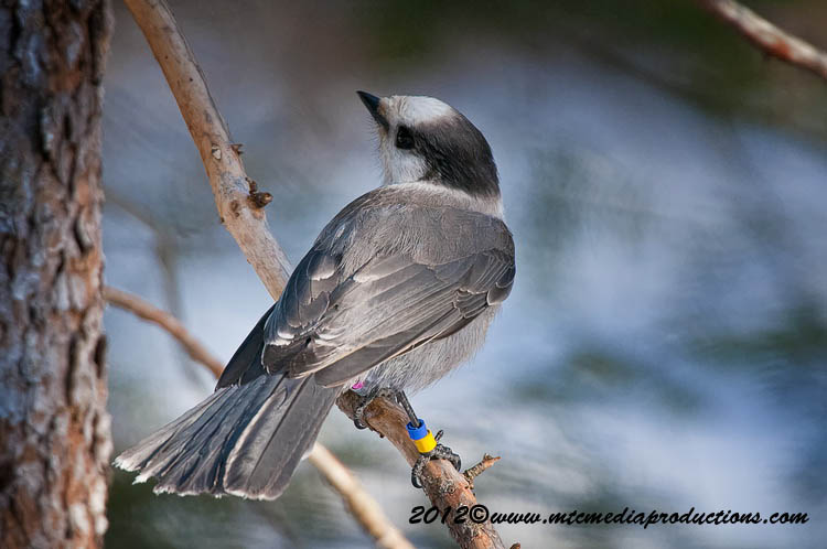 Gray Jay Picture-179
