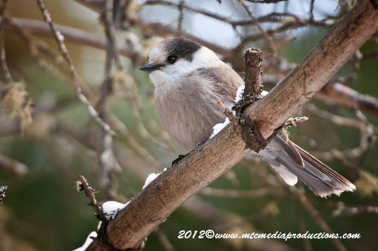 Gray Jay Picture-180