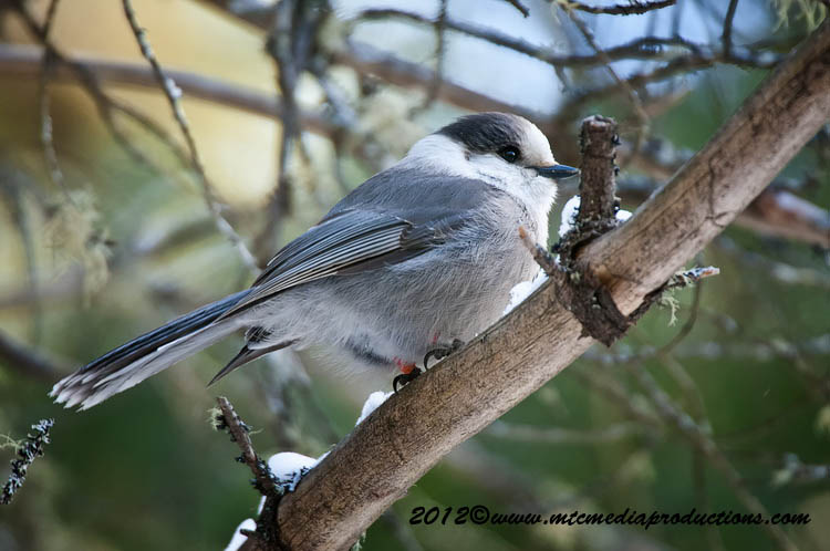 Gray Jay Picture-181