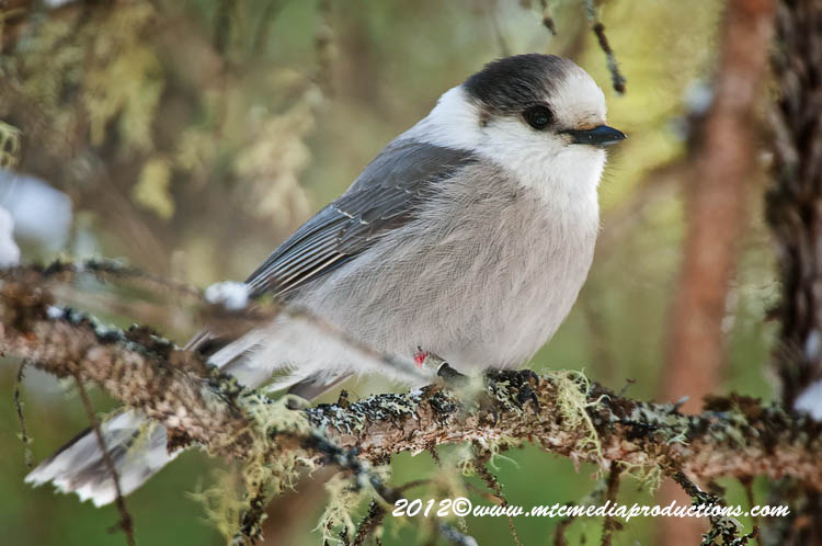 Gray Jay Picture-182