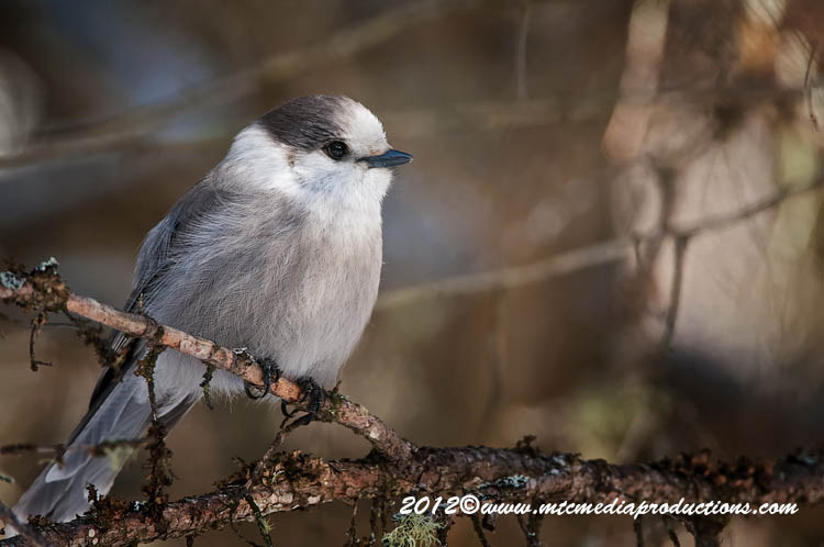 Gray Jay Picture-183