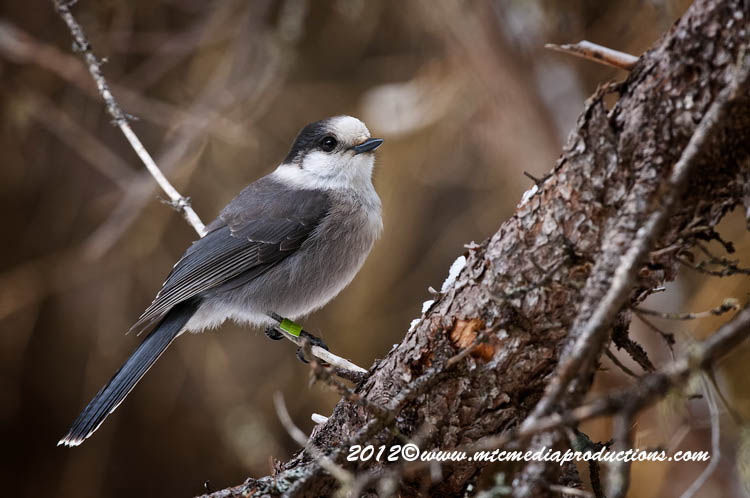 Gray Jay Picture-184