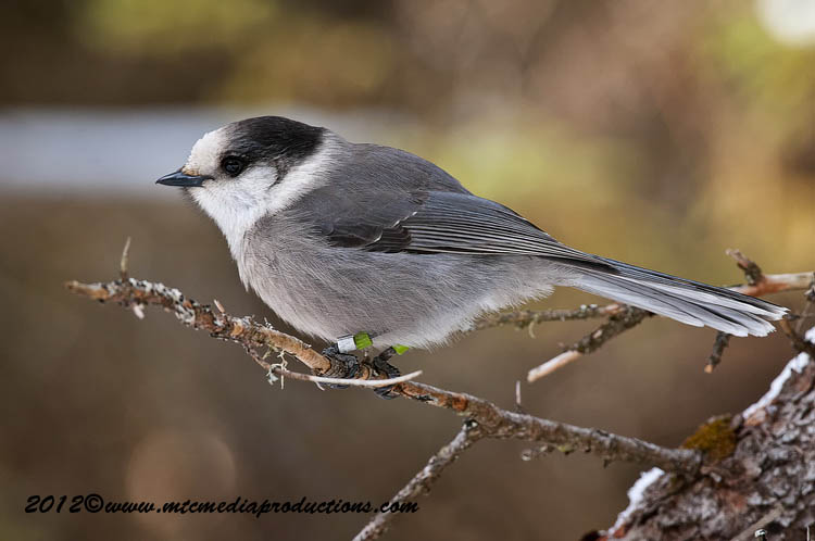 Gray Jay Picture-185