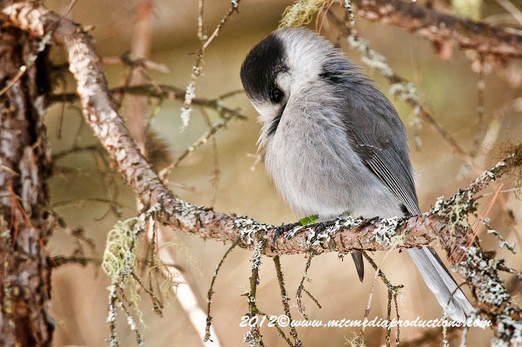 Gray Jay Picture-186