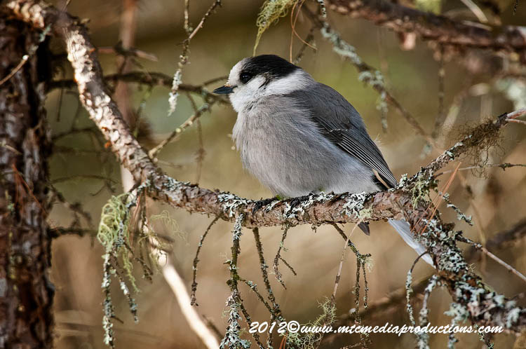 Gray Jay Picture-187
