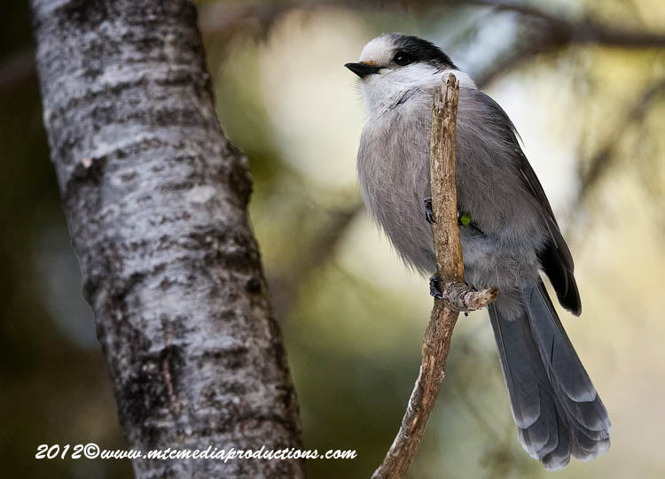 Gray Jay Picture-188