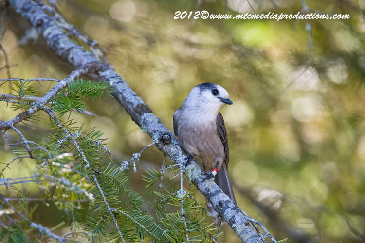 Gray Jay Picture-189