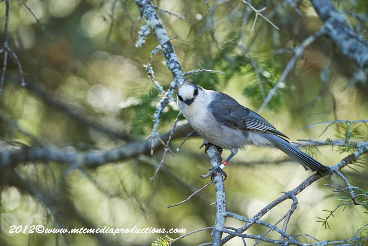 Gray Jay Picture-190