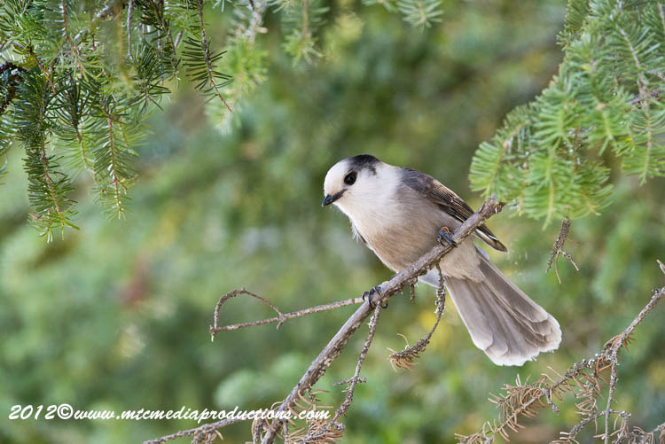 Gray Jay Picture-191