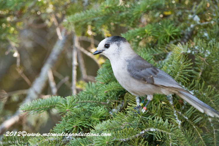 Gray Jay Picture-192