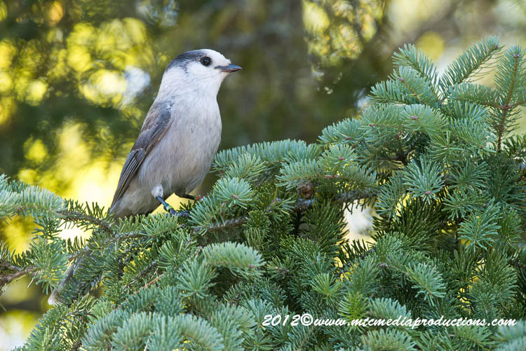 Gray Jay Picture-193