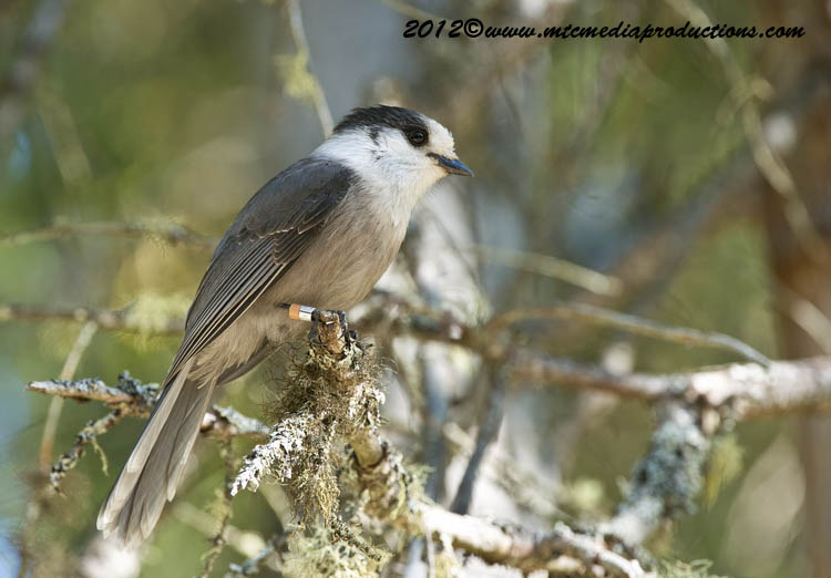 Gray Jay Picture-194