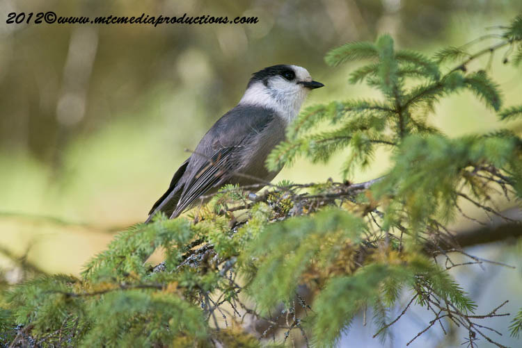 Gray Jay Picture-195