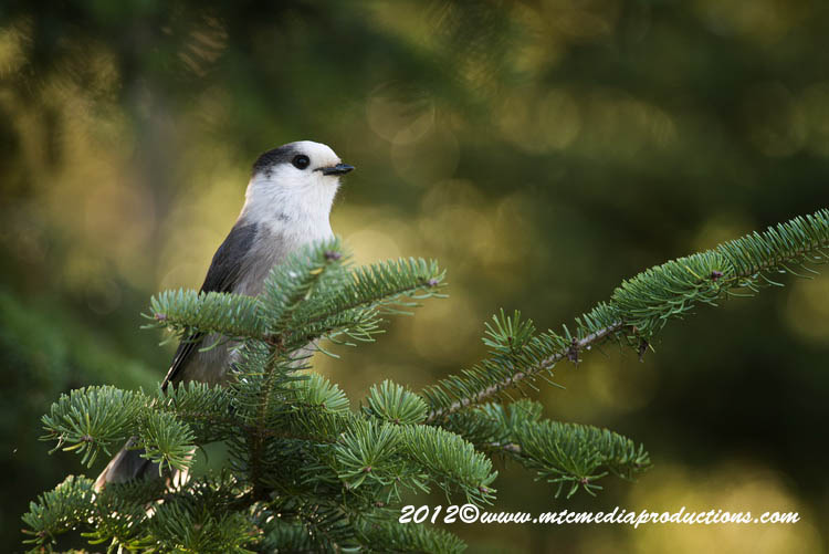 Gray Jay Picture-196
