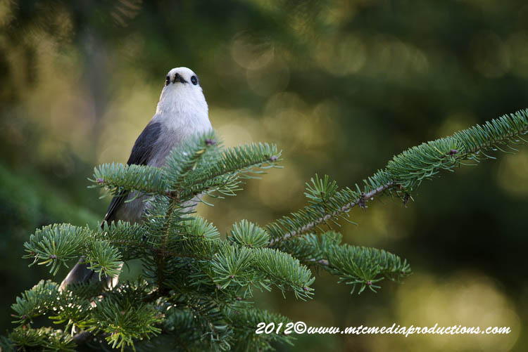 Gray Jay Picture-197