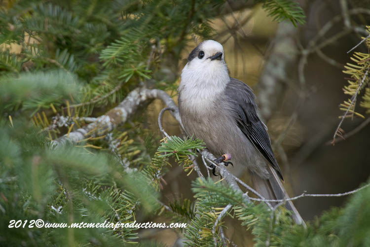 Gray Jay Picture-198