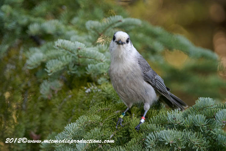 Gray Jay Picture-200