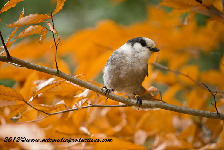 Gray Jay Picture-300
