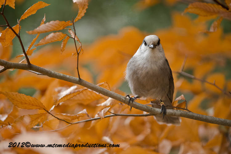 Gray Jay Picture-301