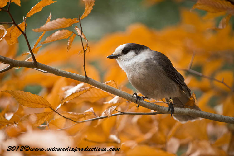 Gray Jay Picture-302