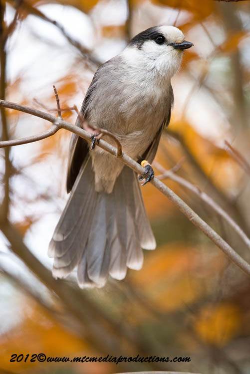 Gray Jay Picture-303