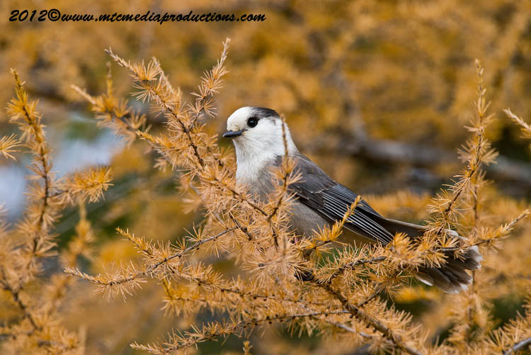 Gray Jay Picture-304