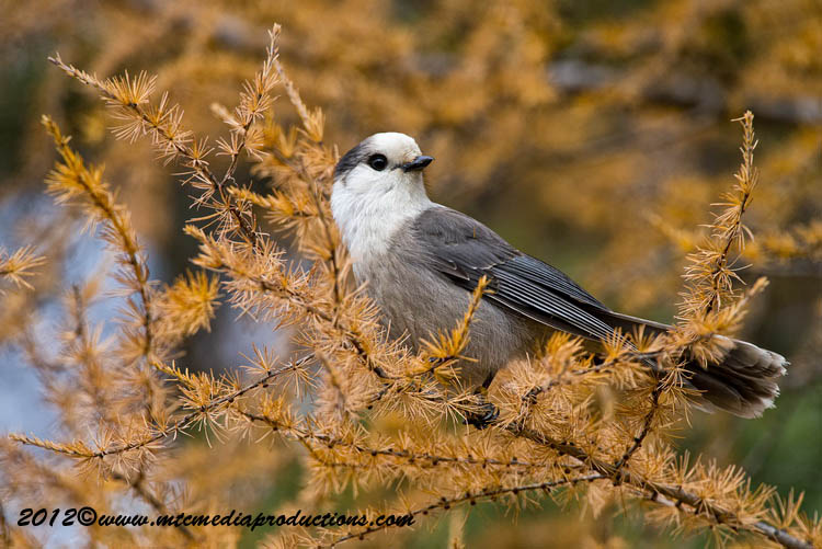 Gray Jay Picture-305