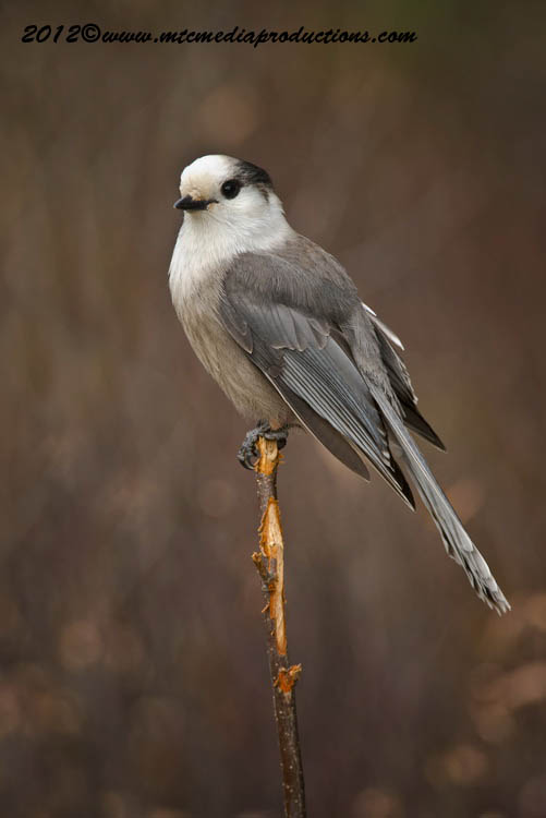 Gray Jay Picture-306