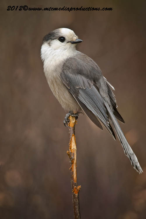 Gray Jay Picture-307