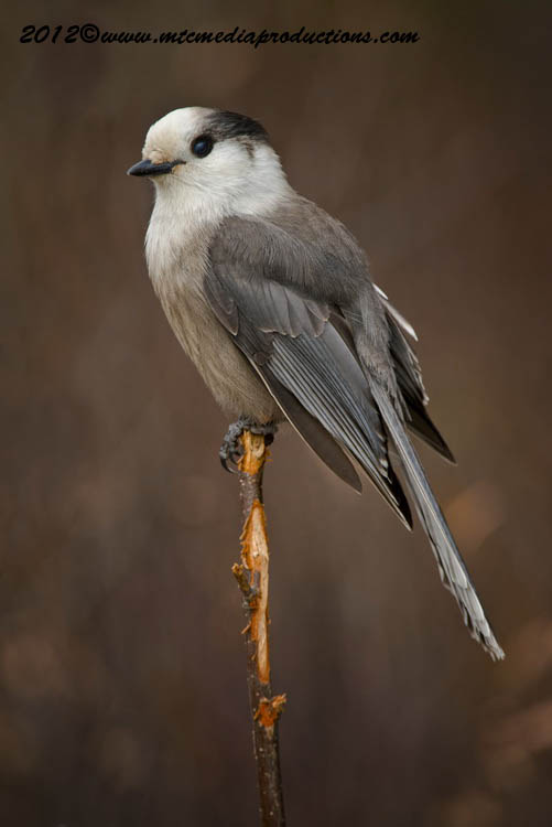 Gray Jay Picture-308