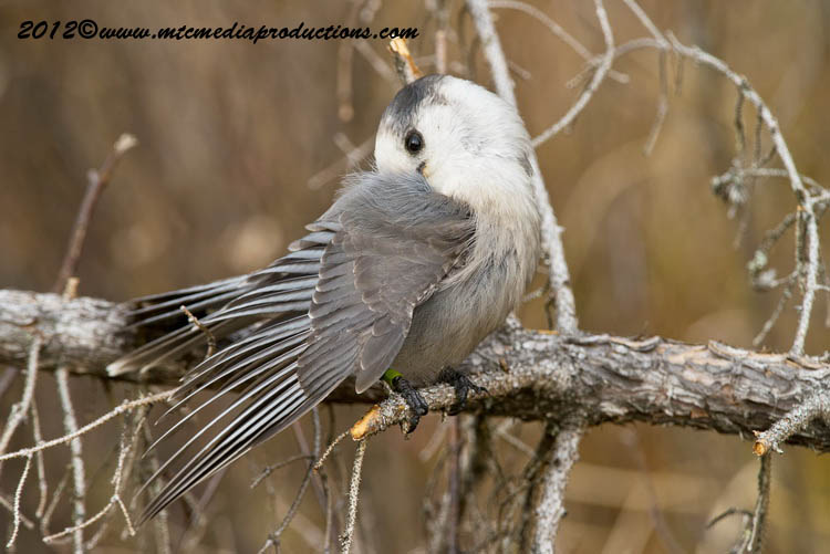 Gray Jay Picture-309