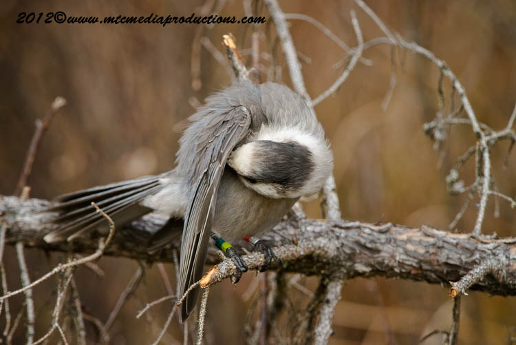Gray Jay Picture-310