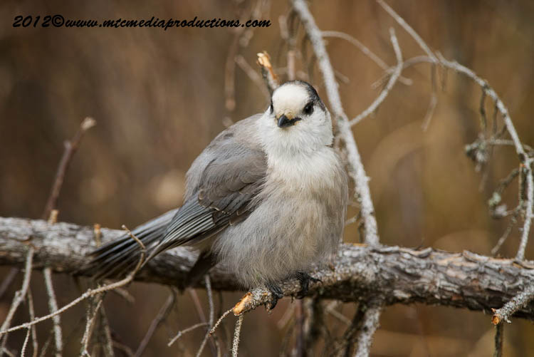Gray Jay Picture-311