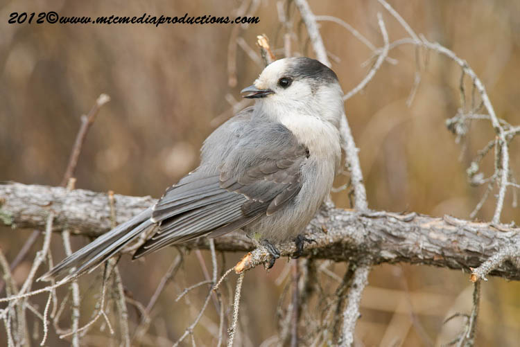 Gray Jay Picture-312