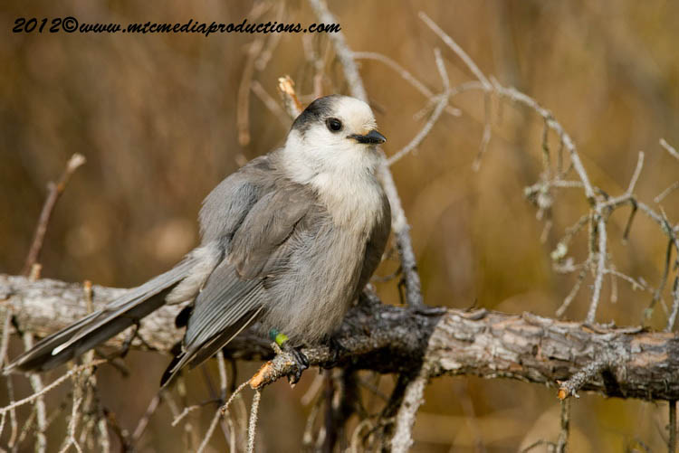 Gray Jay Picture-313