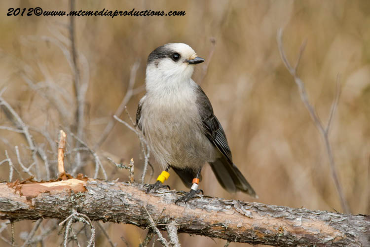 Gray Jay Picture-314