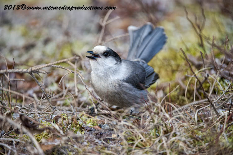 Gray Jay Picture-315