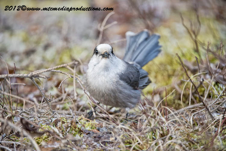 Gray Jay Picture-316