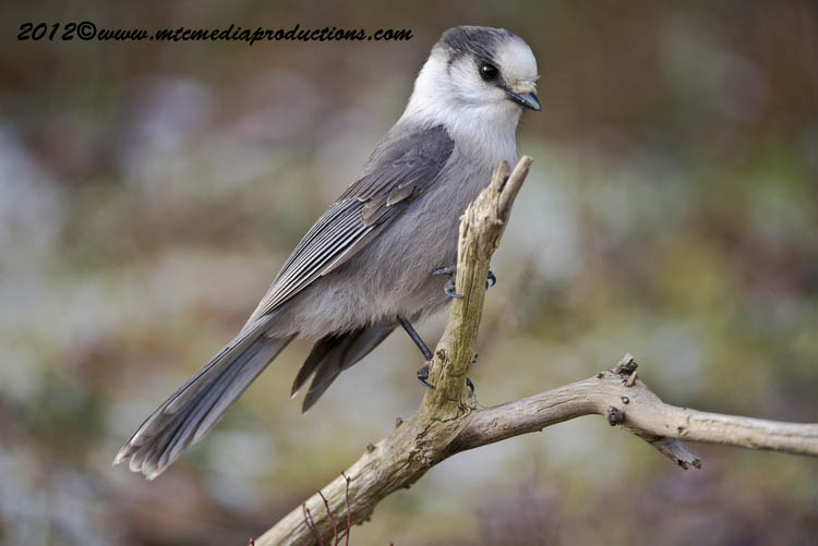 Gray Jay Picture-317
