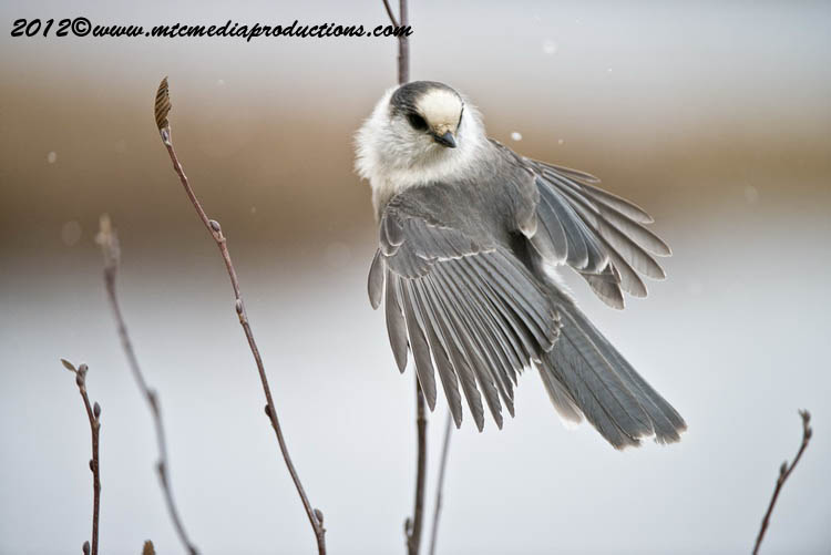 Gray Jay Picture-318