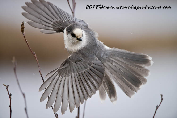 Gray Jay Picture-319