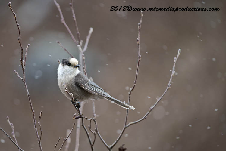 Gray Jay Picture-320