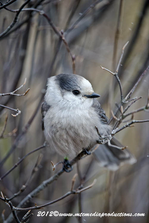 Gray Jay Picture-321