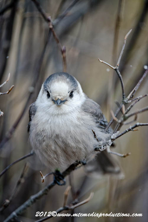 Gray Jay Picture-322